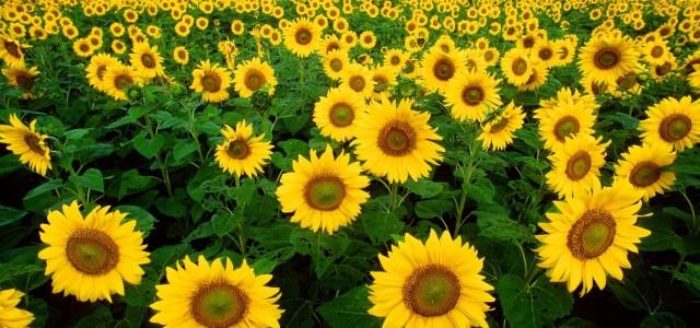 Semintele de floarea soarelui ceva mai mult decat un snack delicios
